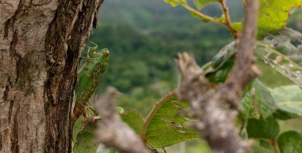 Cicada near Nubutautau